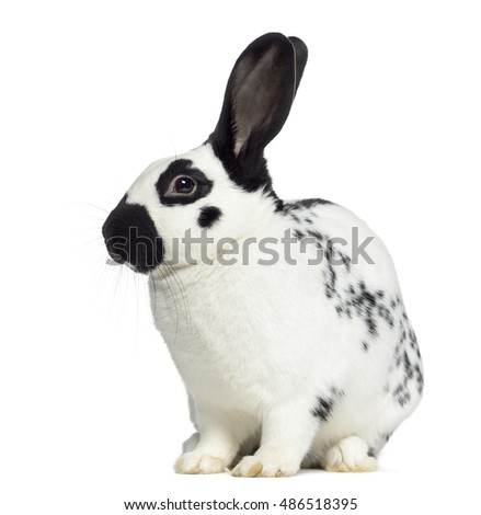 Side view of Checkered rabbit isolated on white