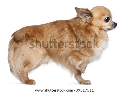 Side view of Chihuahua, 8 years old, in front of white background - stock photo