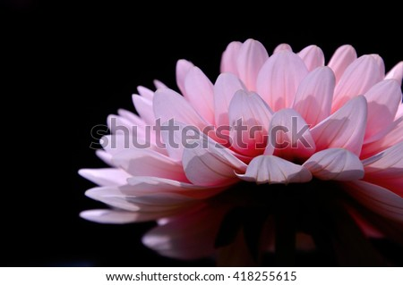 side view of Chrysanthemum flower isolated on black background - stock photo