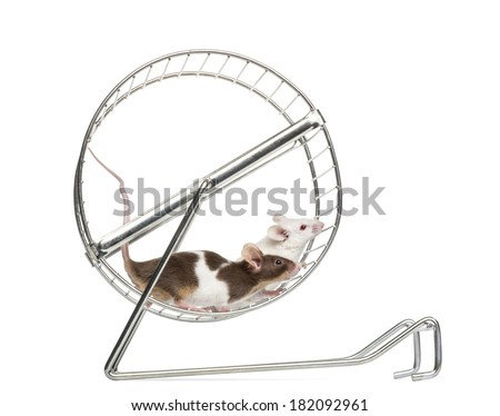 Side view of Common house mice playing in a wheel, Mus musculus, isolated on white - stock photo