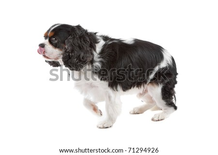 Side view of cute Cavalier King Charles Spaniel dog walking, on a white background