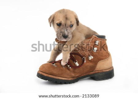 side view of cute Great Dane puppy in a boot - stock photo