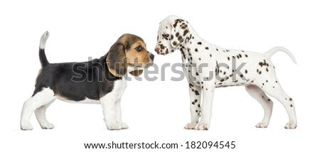 Side view of Dalmatian and Beagle puppies getting to know, isolated on white - stock photo