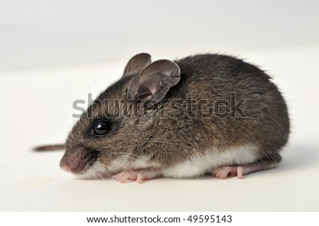 side view of deer mouse on white background