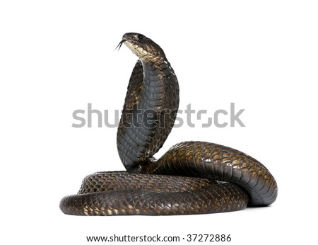 Side view of Egyptian cobra, Naja haje, against white background, studio shot - stock photo