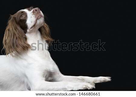 Side view of English Springer Spaniel looking up against black background - stock photo