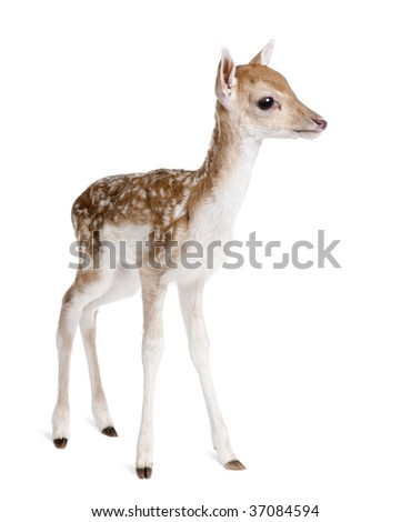 Side view of Fallow Deer Fawn, Dama dama, 5 days old, standing against white background, studio shot - stock photo