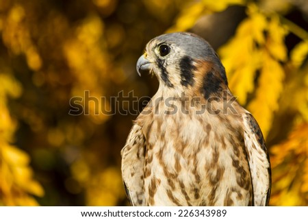 Side view of Female Kestrel Falcon perched on tree branch with vivid yellow autumn colors in background - stock photo