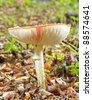 Side view of fly agaric showing gills - stock photo