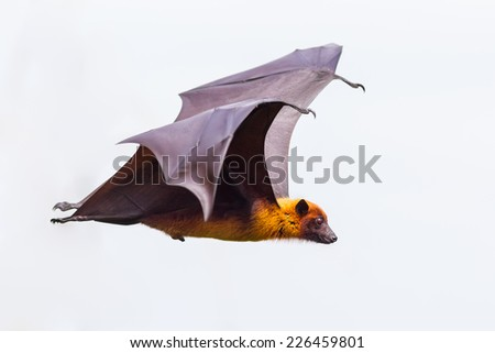 Side view of flying male Lyle's flying fox (Pteropus lylei)  in nature of Thailand - stock photo