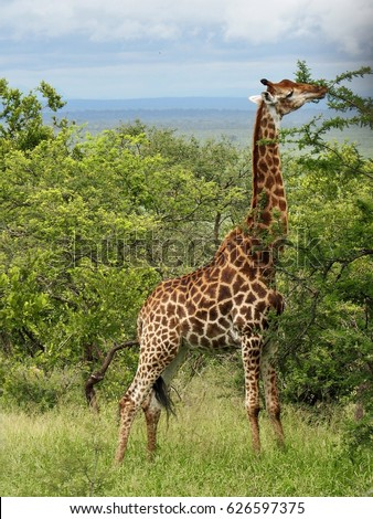 Side view of giraffe eating tree