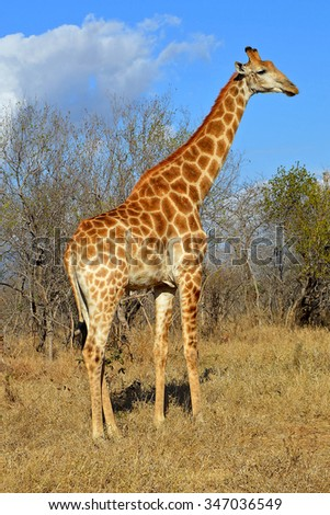 Side view of giraffe in savannah - stock photo