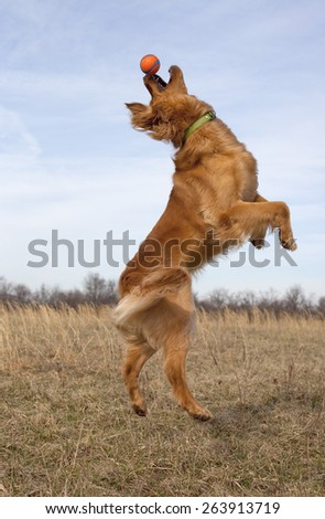 Side view of golden retriever leaping for ball - stock photo