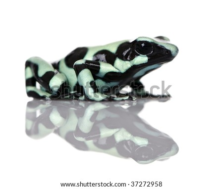 Side view of Green and Black Poison Dart Frog, Dendrobates auratus, against white background, studio shot - stock photo