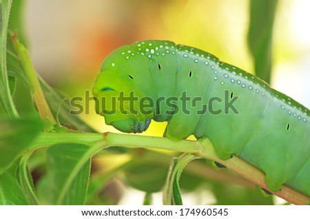 side view of green butterfly larva - stock photo