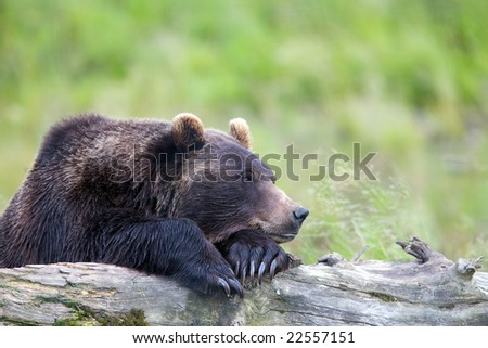 Side view of Grizzly Bear resting on paws on a log