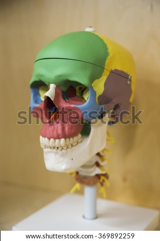 Side view of Human Skull (for basic medical education, for clinics & Schools)