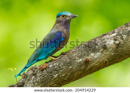 Side view of Indian roller(Coracias benghalensis) looking at us in nature of Thailand - stock photo