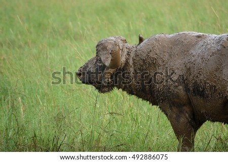 Side view of isolated Buffalo covered with mud in the field