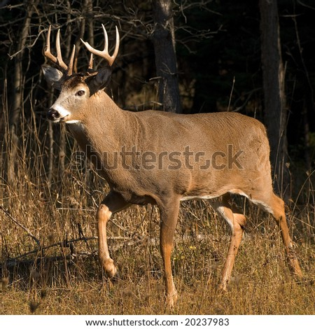 side view of majestic whitetail buck in sunlight against dark woods.