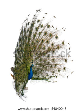 Side view of Male Indian Peafowl displaying tail feathers in front of white background - stock photo