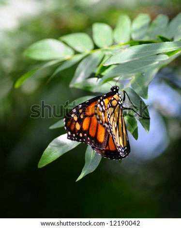 Side view of Monarch, Danaus plexippus butterfly on a plant