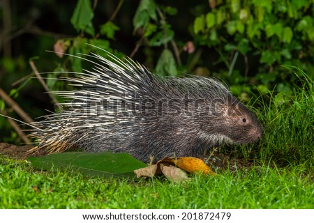 Side view of nocturnal animals Malayan porcupine(Hystrix brachyura)  find some food in nature at Kaengkrajarn national park,Thailand - stock photo