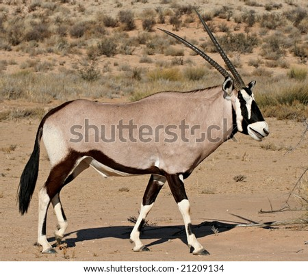 side view of oryx antelope in kalahari desert in south africa
