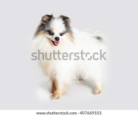 Side view of Pomeranian dog standing on a grey background looking down