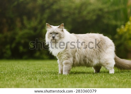 Side view of ragdoll tomcat with beautiful eyes standing on a grass in a green garden.