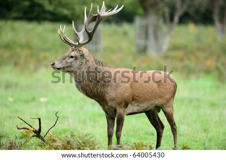 Side view of red deer stag standing in the rain - stock photo