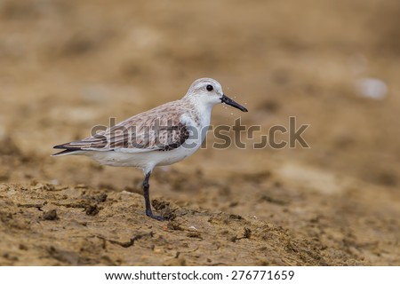 Side view of  Red-necked stint (Calidris ruficollis) in nature at Laem Phak Bia, Petchaburi, Thailand - stock photo