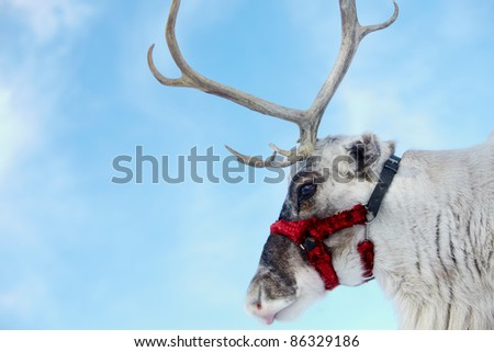 Side view of reindeer?s head - stock photo