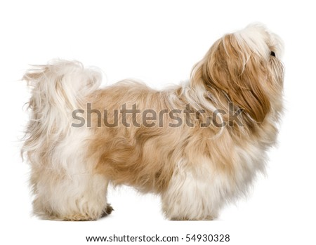 Side view of Shih Tzu, 1 year old, standing in front of white background - stock photo