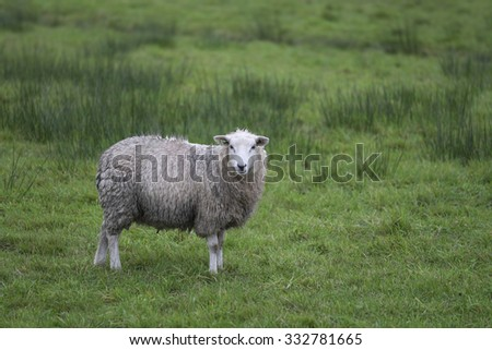 Side view of single sheep in green meadow looking into camera - stock photo