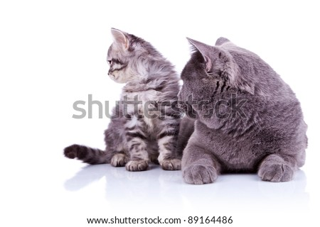 side view of two cats, one big britih cat and one silver tavvy, looking to something on their right, over white - stock photo