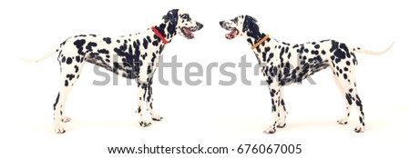 Side view of two Dalmatians standing face to face against white background