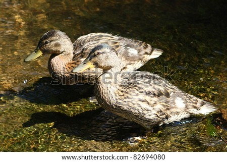 Side view of two female mallards (Anas platyrhynchos)