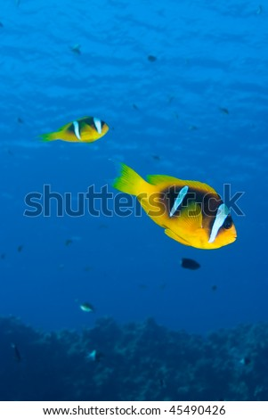 Side view of Two Red sea anemone fish (amphiprion bicinctus). Red Sea, Egypt. - stock photo