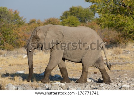 Side view of walking elephant in the savannah in Etosha, Namib