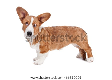 Side view of Welsh Corgi dog looking at camera, isolated on a white background - stock photo