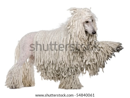 Side view of White Corded standard Poodle with raised paw standing in front of white background - stock photo