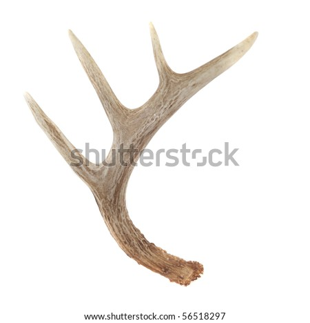 Side View of Whitetail Deer Antlers Isolated on White - stock photo