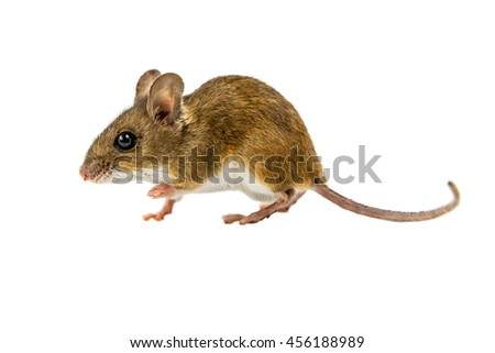 Side view of Wood mouse (Apodemus sylvaticus) walking on white background - stock photo