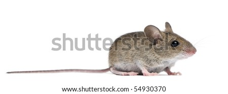 Side view of Wood mouse in front of white background - stock photo
