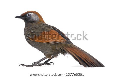 Side view on a Red-tailed Laughingthrush - Garrulax milnei, isolated on white