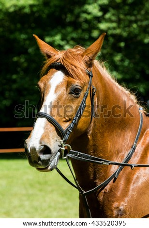 Side view portrait of a bay dressage horse during training outdoors - stock photo