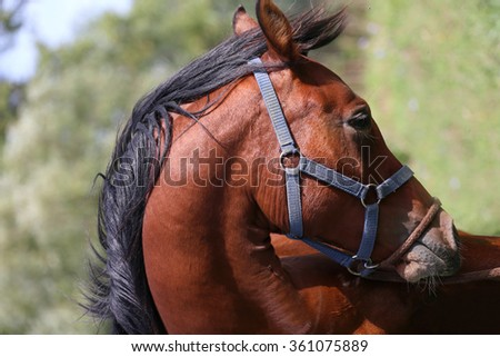 Side view portrait of arabian horse in the corral - stock photo