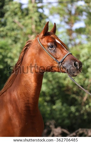 Side view portrait of beautiful arabian horse in summer corral - stock photo