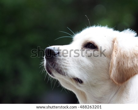 side view profile portraits of young small cute lovely mini size crossbreed puppy dog from two or more toys purebred white pastel beige colour long fur and ears black eyes homer outdoor background